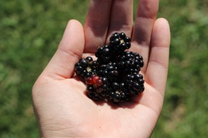 blackberries-1059777_1920