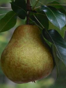 pear-927693_1920